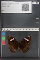 http://mczbase.mcz.harvard.edu/specimen_images/ent-lepidoptera/images/2010_12_01/IMG_061164.JPG