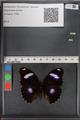 http://mczbase.mcz.harvard.edu/specimen_images/ent-lepidoptera/images/2010_12_01/IMG_061166.JPG