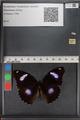 http://mczbase.mcz.harvard.edu/specimen_images/ent-lepidoptera/images/2010_12_01/IMG_061167.JPG
