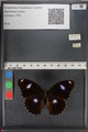 http://mczbase.mcz.harvard.edu/specimen_images/ent-lepidoptera/images/2010_12_01/IMG_061168.JPG