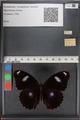 http://mczbase.mcz.harvard.edu/specimen_images/ent-lepidoptera/images/2010_12_01/IMG_061169.JPG