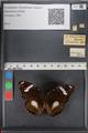 http://mczbase.mcz.harvard.edu/specimen_images/ent-lepidoptera/images/2010_12_01/IMG_061174.JPG