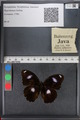 http://mczbase.mcz.harvard.edu/specimen_images/ent-lepidoptera/images/2010_12_01/IMG_061177.JPG