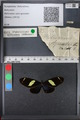 http://mczbase.mcz.harvard.edu/specimen_images/ent-lepidoptera/images/2010_12_06/IMG_062461.JPG