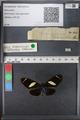 http://mczbase.mcz.harvard.edu/specimen_images/ent-lepidoptera/images/2010_12_06/IMG_062463.JPG
