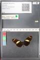 http://mczbase.mcz.harvard.edu/specimen_images/ent-lepidoptera/images/2010_12_06/IMG_062464.JPG