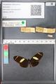 http://mczbase.mcz.harvard.edu/specimen_images/ent-lepidoptera/images/2010_12_06/IMG_062465.JPG