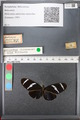 http://mczbase.mcz.harvard.edu/specimen_images/ent-lepidoptera/images/2010_12_07/IMG_062599.JPG