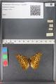 http://mczbase.mcz.harvard.edu/specimen_images/ent-lepidoptera/images/2010_12_09/IMG_063686.JPG
