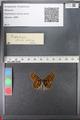 http://mczbase.mcz.harvard.edu/specimen_images/ent-lepidoptera/images/2010_12_13/IMG_064380.JPG