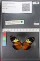 http://mczbase.mcz.harvard.edu/specimen_images/ent-lepidoptera/images/2011_01_04/IMG_065351.JPG