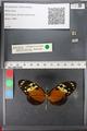 http://mczbase.mcz.harvard.edu/specimen_images/ent-lepidoptera/images/2011_01_04/IMG_065353.JPG