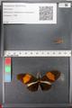 http://mczbase.mcz.harvard.edu/specimen_images/ent-lepidoptera/images/2011_01_06/IMG_065559.JPG