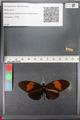 http://mczbase.mcz.harvard.edu/specimen_images/ent-lepidoptera/images/2011_01_06/IMG_065561.JPG