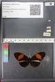 http://mczbase.mcz.harvard.edu/specimen_images/ent-lepidoptera/images/2011_01_06/IMG_065562.JPG
