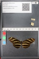 http://mczbase.mcz.harvard.edu/specimen_images/ent-lepidoptera/images/2011_01_10/IMG_065802.JPG