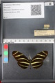 http://mczbase.mcz.harvard.edu/specimen_images/ent-lepidoptera/images/2011_01_10/IMG_065806.JPG
