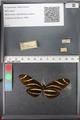 http://mczbase.mcz.harvard.edu/specimen_images/ent-lepidoptera/images/2011_01_10/IMG_065807.JPG