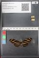 http://mczbase.mcz.harvard.edu/specimen_images/ent-lepidoptera/images/2011_01_10/IMG_065818.JPG