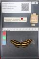http://mczbase.mcz.harvard.edu/specimen_images/ent-lepidoptera/images/2011_01_10/IMG_065829.JPG