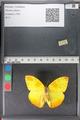 http://mczbase.mcz.harvard.edu/specimen_images/ent-lepidoptera/images/2011_02_14/IMG_070517.JPG