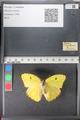 http://mczbase.mcz.harvard.edu/specimen_images/ent-lepidoptera/images/2011_02_16/IMG_071041.JPG