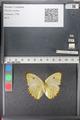 http://mczbase.mcz.harvard.edu/specimen_images/ent-lepidoptera/images/2011_02_16/IMG_071047.JPG