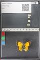 http://mczbase.mcz.harvard.edu/specimen_images/ent-lepidoptera/images/2011_02_18/IMG_071900.JPG