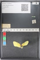 http://mczbase.mcz.harvard.edu/specimen_images/ent-lepidoptera/images/2011_02_23/IMG_072553.JPG