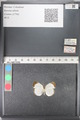 http://mczbase.mcz.harvard.edu/specimen_images/ent-lepidoptera/images/2011_03_02/IMG_073502.JPG