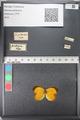 Media of type image, MCZ:Ent:121672 Identified as Eurema (Pyrisitia) proterpia.