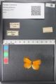 Media of type image, MCZ:Ent:121673 Identified as Eurema (Pyrisitia) proterpia.