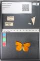 Media of type image, MCZ:Ent:121674 Identified as Eurema (Pyrisitia) proterpia.