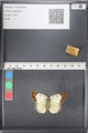 http://mczbase.mcz.harvard.edu/specimen_images/ent-lepidoptera/images/2011_03_17/IMG_077105.JPG
