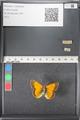 http://mczbase.mcz.harvard.edu/specimen_images/ent-lepidoptera/images/2011_03_18/IMG_077404.JPG