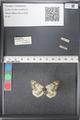 http://mczbase.mcz.harvard.edu/specimen_images/ent-lepidoptera/images/2011_03_21/IMG_077650.JPG