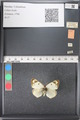 http://mczbase.mcz.harvard.edu/specimen_images/ent-lepidoptera/images/2011_03_21/IMG_077725.JPG