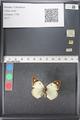 http://mczbase.mcz.harvard.edu/specimen_images/ent-lepidoptera/images/2011_03_21/IMG_077734.JPG