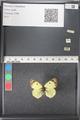http://mczbase.mcz.harvard.edu/specimen_images/ent-lepidoptera/images/2011_03_21/IMG_077757.JPG