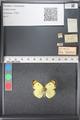 http://mczbase.mcz.harvard.edu/specimen_images/ent-lepidoptera/images/2011_03_21/IMG_077777.JPG