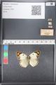 http://mczbase.mcz.harvard.edu/specimen_images/ent-lepidoptera/images/2011_03_21/IMG_077801.JPG