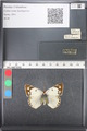 http://mczbase.mcz.harvard.edu/specimen_images/ent-lepidoptera/images/2011_03_21/IMG_077822.JPG