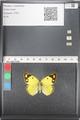 http://mczbase.mcz.harvard.edu/specimen_images/ent-lepidoptera/images/2011_03_21/IMG_077840.JPG