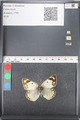 http://mczbase.mcz.harvard.edu/specimen_images/ent-lepidoptera/images/2011_03_21/IMG_077846.JPG