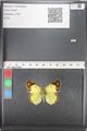 http://mczbase.mcz.harvard.edu/specimen_images/ent-lepidoptera/images/2011_03_21/IMG_077847.JPG