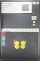 http://mczbase.mcz.harvard.edu/specimen_images/ent-lepidoptera/images/2011_03_21/IMG_077854.JPG