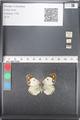 http://mczbase.mcz.harvard.edu/specimen_images/ent-lepidoptera/images/2011_03_21/IMG_077863.JPG