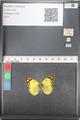 http://mczbase.mcz.harvard.edu/specimen_images/ent-lepidoptera/images/2011_03_21/IMG_077866.JPG