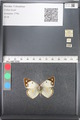 http://mczbase.mcz.harvard.edu/specimen_images/ent-lepidoptera/images/2011_03_21/IMG_077870.JPG