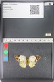 http://mczbase.mcz.harvard.edu/specimen_images/ent-lepidoptera/images/2011_03_23/IMG_078365.JPG